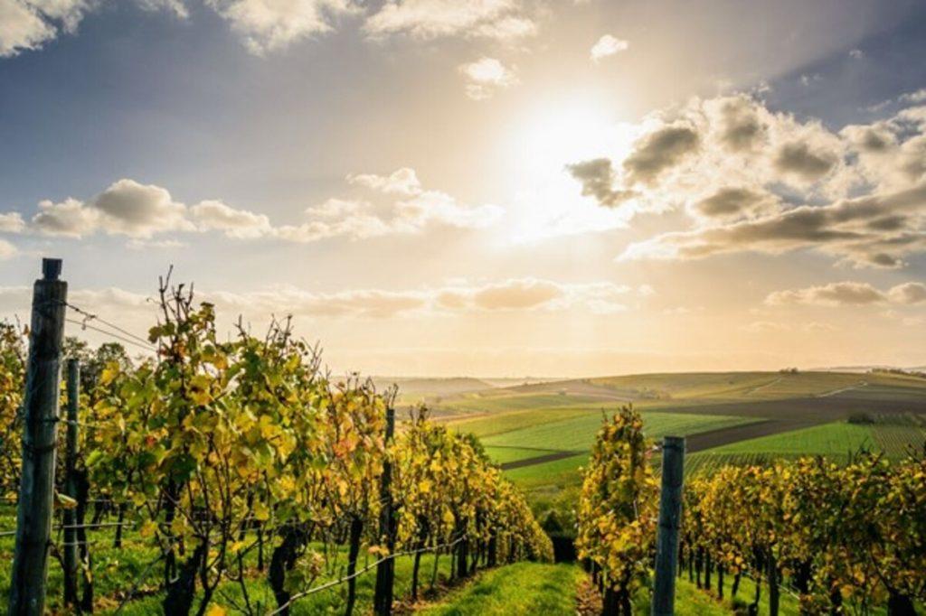 champ soleil vignes
